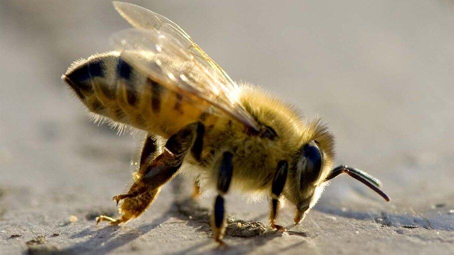 honey, bee