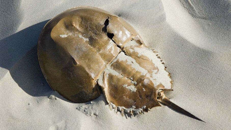 horseshoe, crab