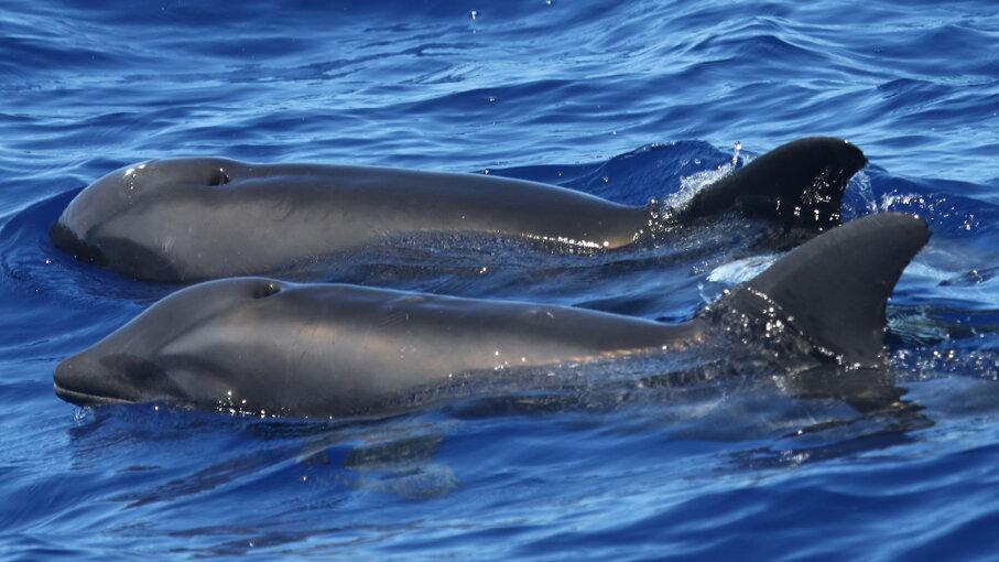 hybrid whale dolphin