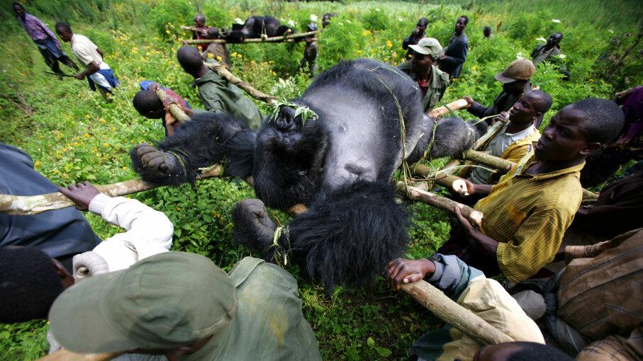 dead silverback gorillas