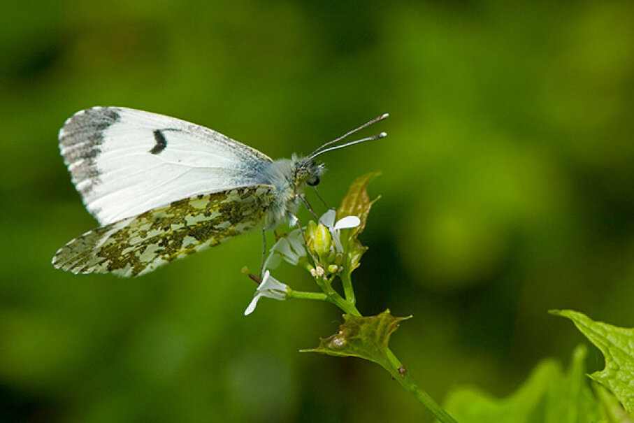 An orange tip  butterfly rests on a garlic mustard plant, the host for its larva. Insects have an amazing knack for survival. Education Images/UIG via Getty Images