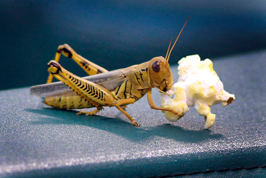 This grasshopper gets a full meal out of a kernel of popcorn. Paul Moseley/Fort Worth Star-Telegram/MCT via Getty Images)