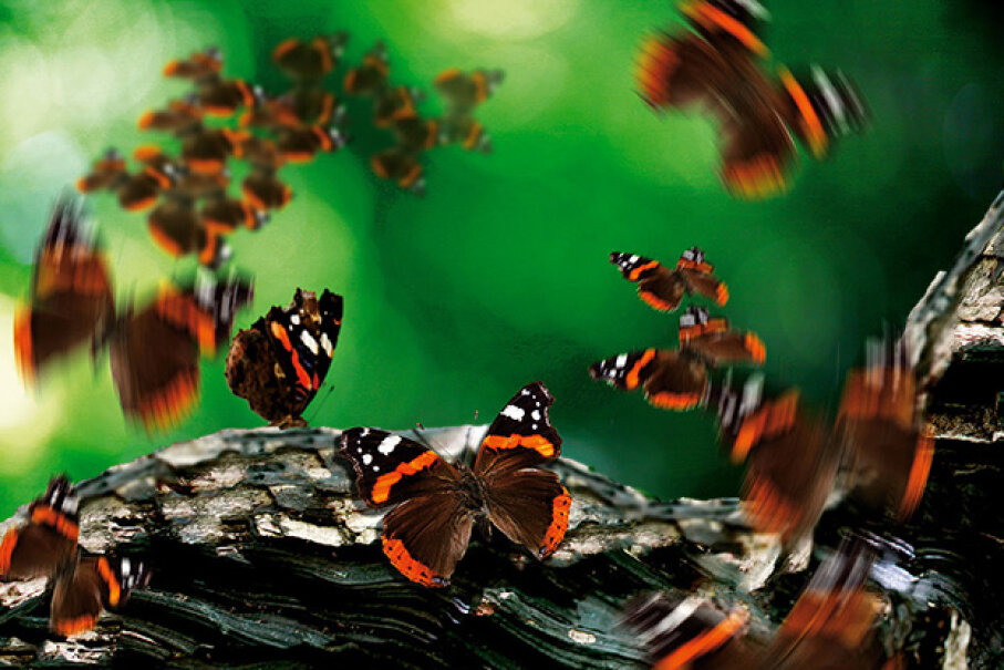 A flurry of red admiral butterflies surround a tree branch. Alastair Jennings/Digital Camera Magazine via Getty Images