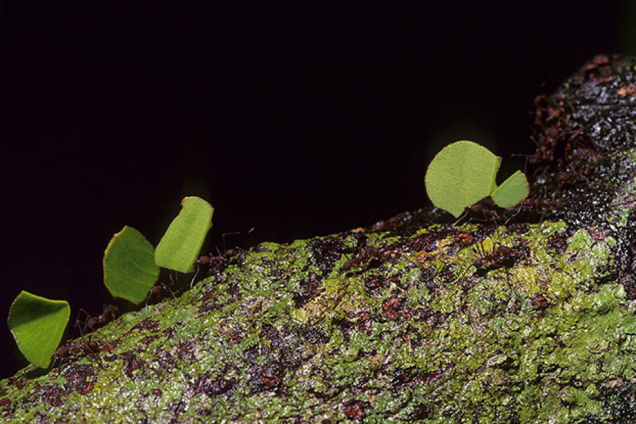 Leafcutter ants do their thing in a Costa Rican jungle. Wolfgang Kaehler/LightRocket via Getty Images