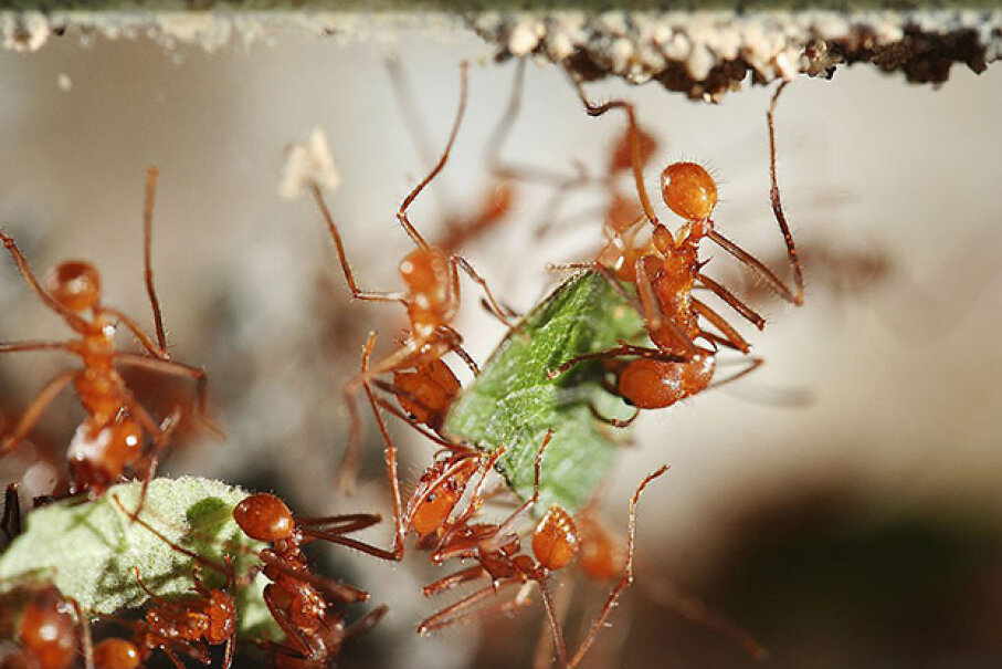Here's a close-up of some leafcutter ants. Like all insects, they have jointed appendages. Christian Schroth/ullstein bild via Getty Images