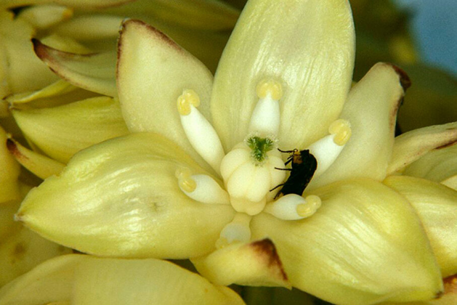 This California yucca moth lays an egg into the yucca flower's ovary prior to pollinating it. The relationship between moth and plant, which is dependent on the insect for pollination, is a classic example of symbiosis. Auscape/UIG via Getty Images
