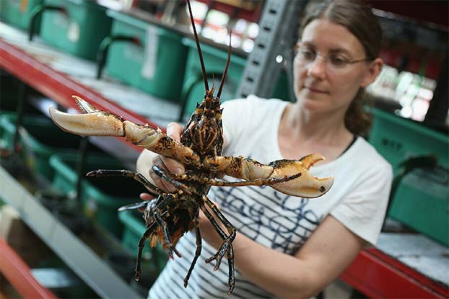 Isabel Schmalenbach, an environmental scientist, holds an adult female European lobster she is planning to release into the North Sea to help repopulate it. Sean Gallup/Getty Image