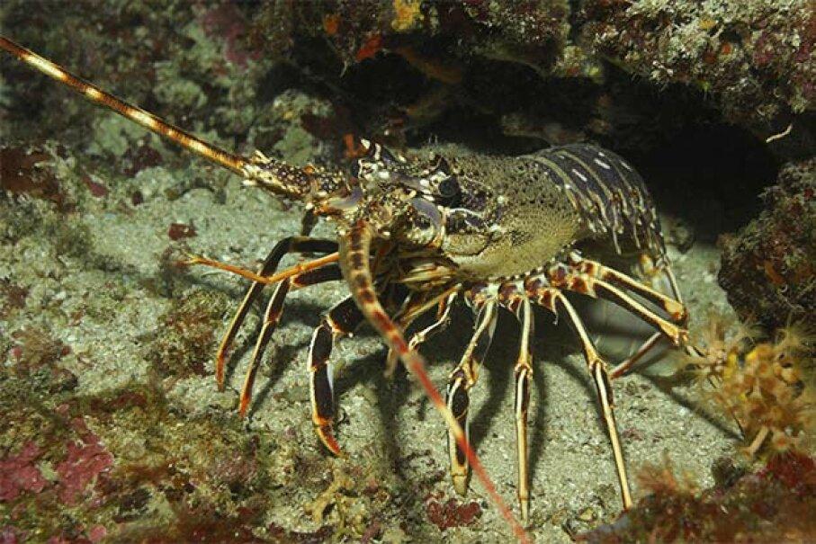This European spiny lobster was photographed near Sofia Island in the Adriatic Sea near Croatia. Borut Furian/WaterFrame/Thinkstock
