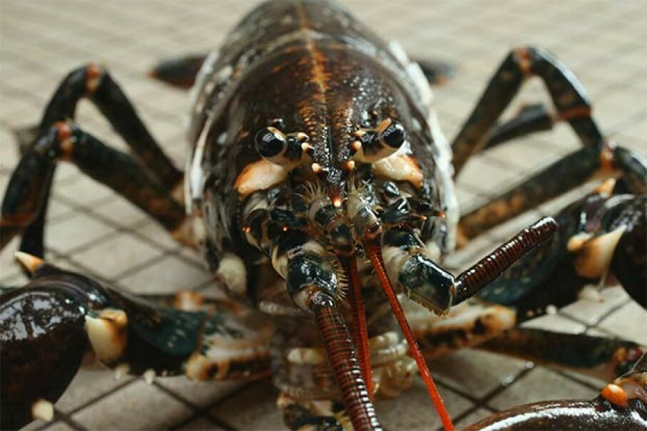 Lobsters don't see much with their eyes; they instead rely on three sets of antennae to get around. Sean Gallup/Getty Image