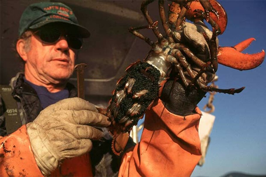 Lobsterman Arthur Andrews holds up a female, egg-bearing lobster he pulled from one of his 500 traps off the coast of Camden, Maine. In accordance with local regulations he will throw the lobster with its 10,000 to 12,000 eggs back. Sean Gallup/Hulton Archive/Getty Images