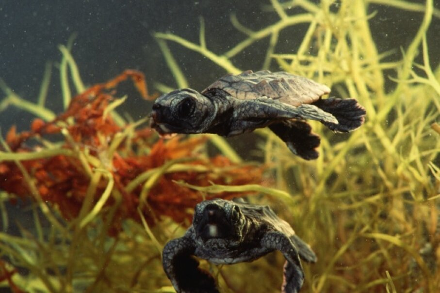These loggerhead sea turtle hatchlings show off their strokes. © Lynda Richardson/Corbis