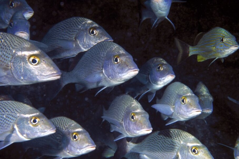 You can't tell from this picture, but gray snappers, even the youngsters, are quite the talkers. Oxford Scientific/Getty Images