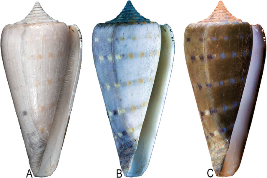 In this photo you can see how the shell looks under regular light (A), how it fluoresces under UV light (B) and how it looks when you digitally reverse the image of the fluorescing shell using photo editing software (C). Image courtesy Jonathan R. Hendricks under the CC By license, as appearing in PLoS ONE 10(4): e0120924
