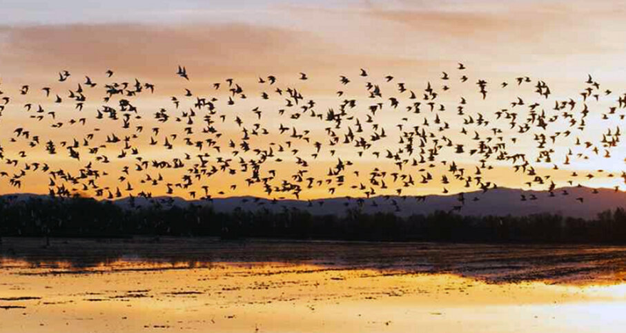 Shorebirds flock at sunset over The Nature Conservancy wetland program field in Sacramento Valley, California.  The Nature Conservancy/Drew Kelly