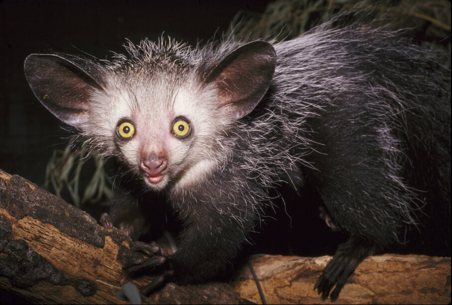 The aye-aye is only found on the island of Madagascar. David Haring/DUPC/Getty Images