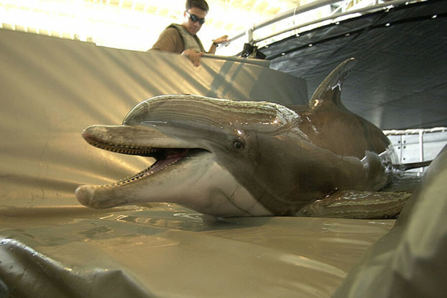 Spetz, a bottlenose dolphin, was trained by the U.S. Navy for mine clearing operations in the Persian Gulf in 2003. Brien Aho/U.S. Navy/Getty Images