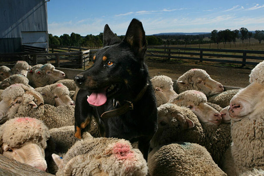 This kelpie loves herding sheep. But Ruby didn't. She found her true calling as a vet nurse. Fairfax Media/Fairfax Media via Getty Images