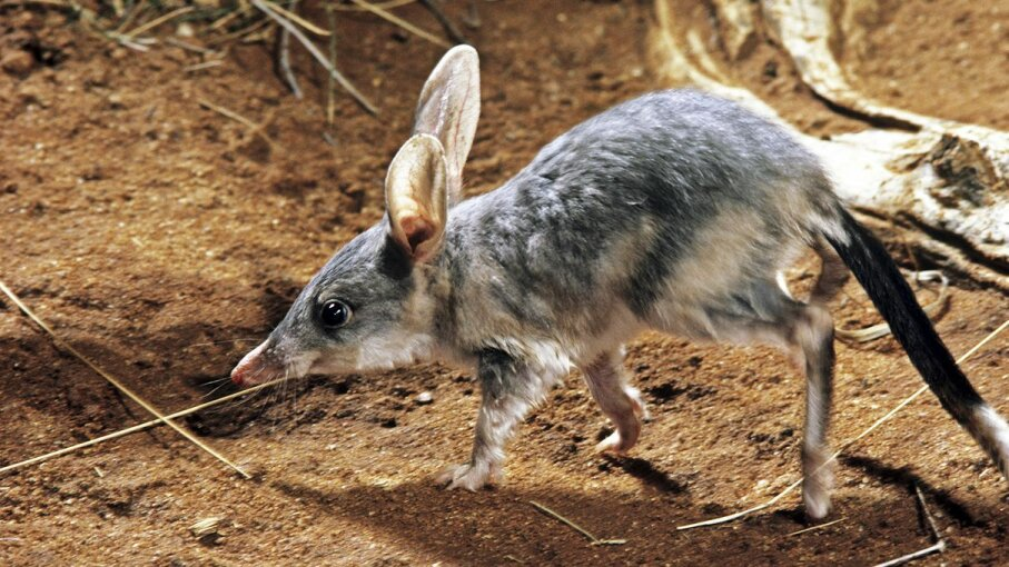 The greater bilby (Macrotis lagotis) is a bandicoot relative currently facing habitat struggles due to human activity and a changing climate. Auscape/UIG/Getty Images