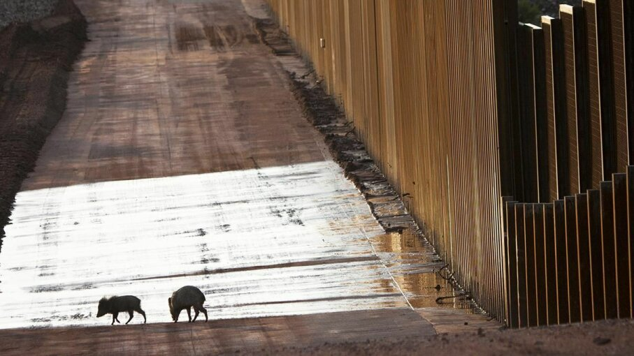Two peccaries (Pecari tajacu) walk by the US-Mexico border near an existing stretch of wall that bisects the San Pedro river corridor. Krista Schlyer/Nature Picture Library/Getty Images