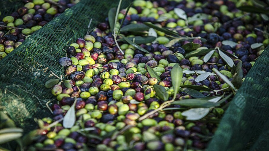 Heavy rains and the olive fly have decimated Italy and Southern Europe's crop of olives, dropping output of olive oil and pushing prices through the roof. MARIO LLORCA/Corbis via Getty Images