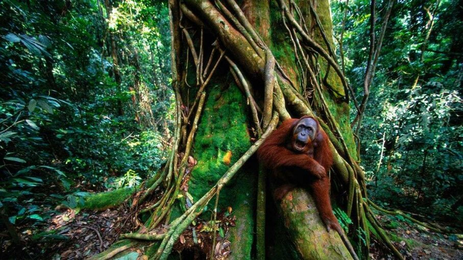 Scientists recently changed their estimate of how many Sumatran orangutans live in the wild. Art Wolfe/Getty Images