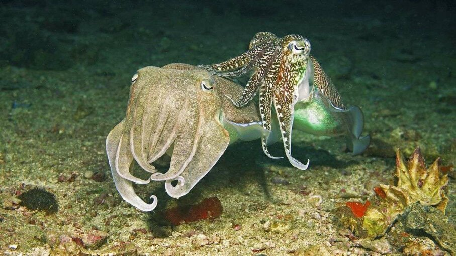 A new study shows that the eyes of cephalopods, like those of these pharaoh cuttlefish (Sepia pharaonis) may be more complex than we previously thought. Helmut Corneli/Getty Images