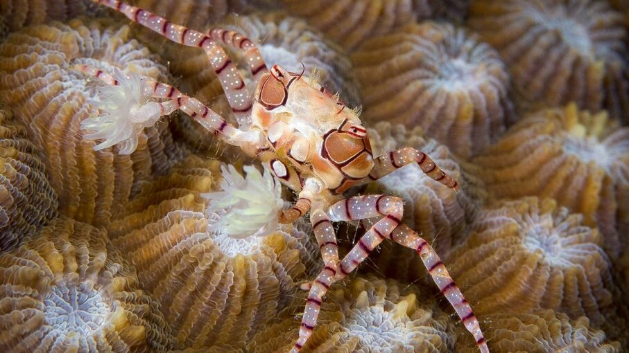 The Lybia boxer crab, holding onto anemones for dear life.  2013 Eliot Ferguson/CC BY-SA 3.0