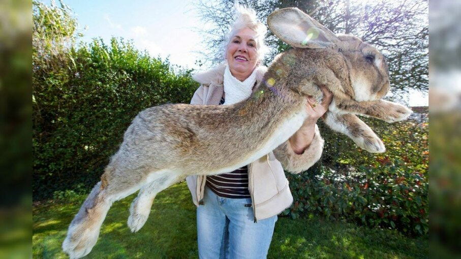 Darius the rabbit (pictured) is the father of Simon, the giant rabbit that died on a recent United Airlines flight. Caters TV