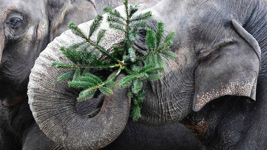 An Asian elephant at the Berlin zoo eats leftover Christmas tree on January 3, 2017. TOBIAS SCHWARZ/AFP/Getty Images