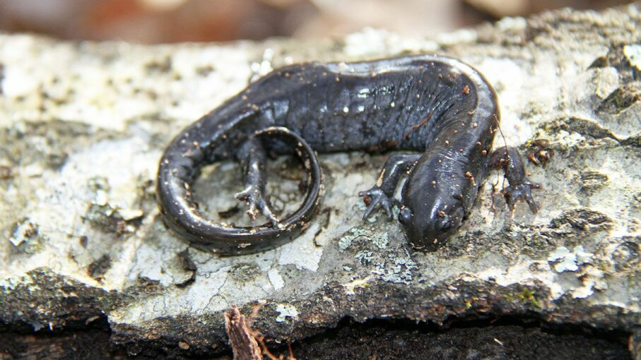 Some salamanders, like this Ambystoma texanum, will do anything for love  including walk a really, really long way. Greg Schecter/Flickr