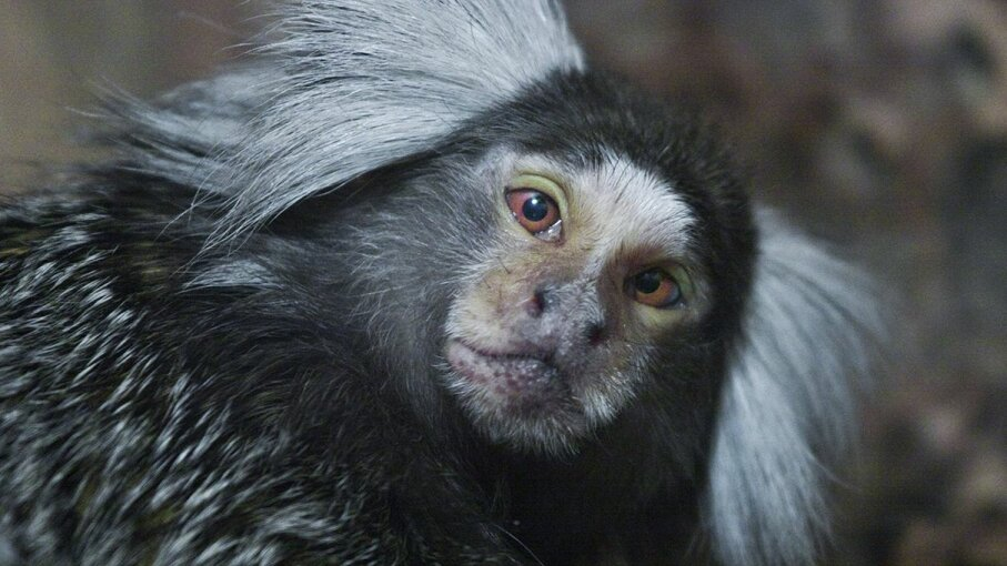 Marmosets' ability to distinguish pitches is as good as humans'. Universal Images Group via Getty Images