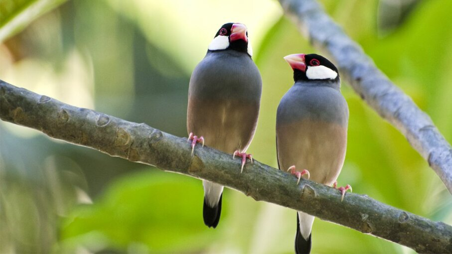 Java sparrows (Lonchura oryzivora) don't select mates the way most songbirds commonly do. NNehring/Getty Images