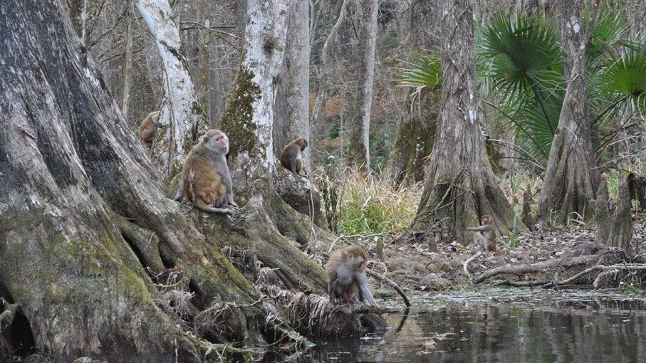 Look closely: A group of monkeys are enjoying life in Silver Springs State Park, Florida. Amanda Concha-Holmes