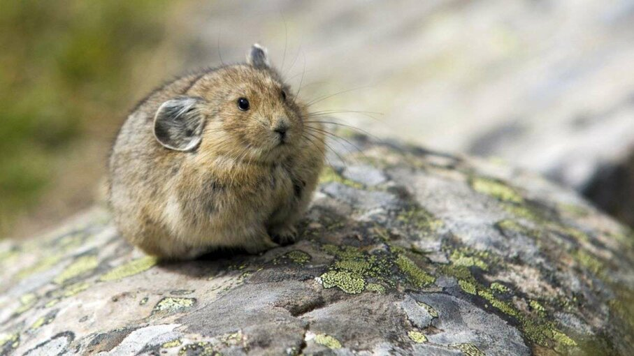 The pika (Ochotona princeps) lives primarily in rocky terrain. s-eyerkaufer/Getty Images