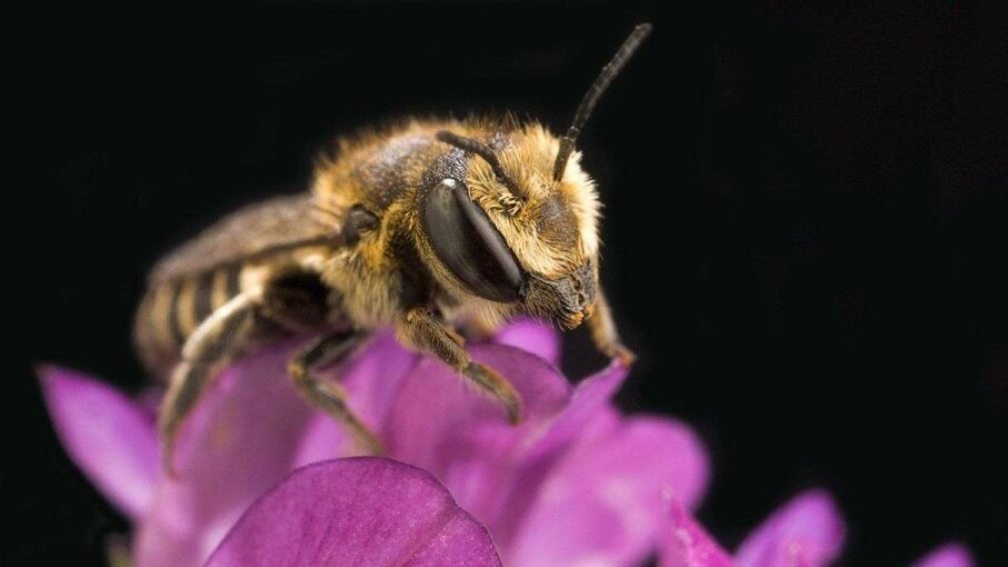 The leafcutter bee has evolved to deal well with the alfalfa flower's defense mechanism. Peggy Greb/Wikimedia Commons
