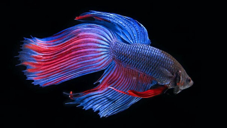A new study investigates what impact antidepressants in the water system might have on fish. Researchers tested on subjects like this Siamese fighting fish. Mark Mawson/Getty Images