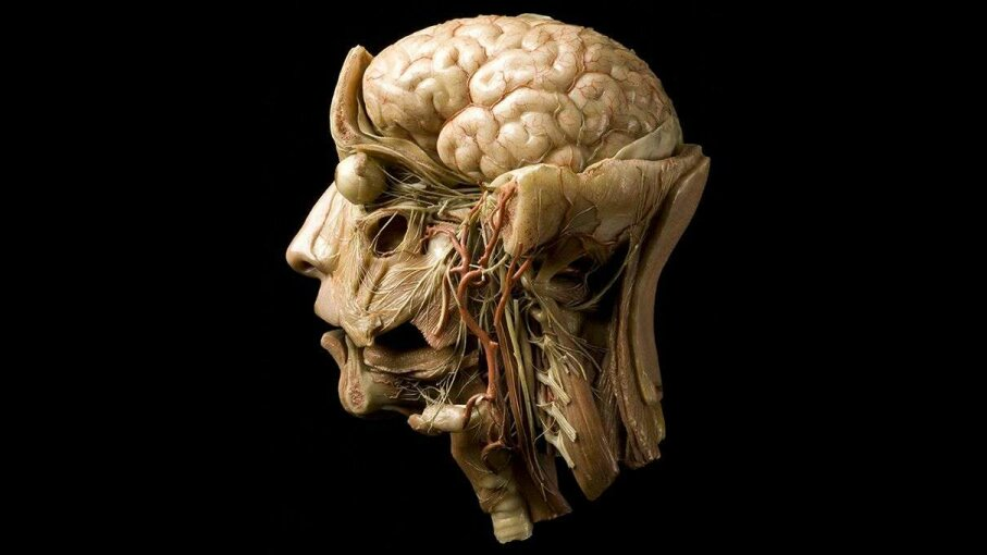 This wax model of a human brain was cutting-edge technology in the 19th century. Could we soon 3-D print living human brain tissue? Science & Society Picture Library/Getty Images