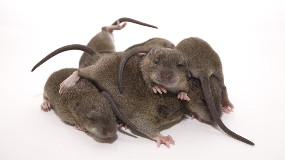 Rat pups huddle together to stay warm in ways that can't be explained by the actions of any individual rat  their collaborative behavior forms a superorganism. Lee Stocker/Getty Images