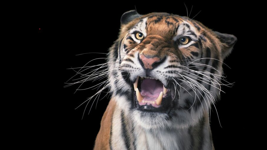 Do lions and tigers and pumas and such go nuts for laser pointers like domesticated house cats do? Tim Flach/Getty Images