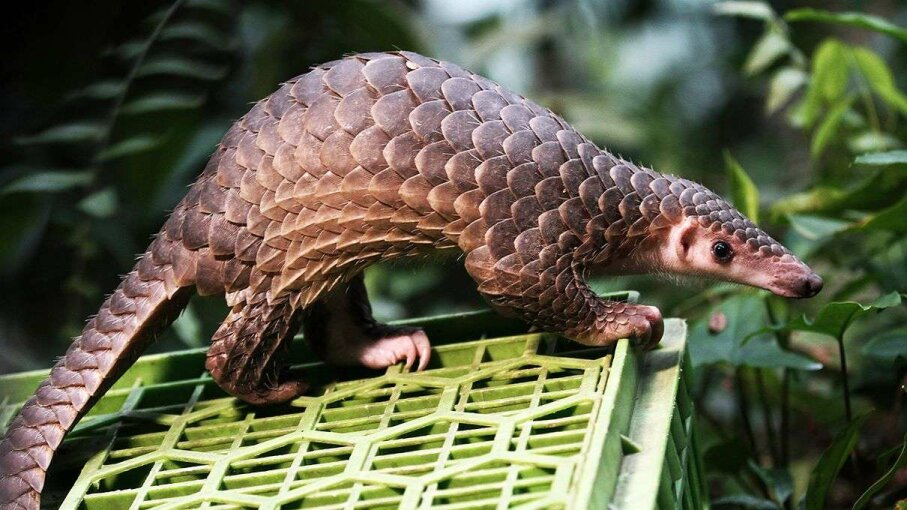 This pangolin was released into the wild in 2015 after being seized from poachers in Indonesia Nurphoto/Getty Images