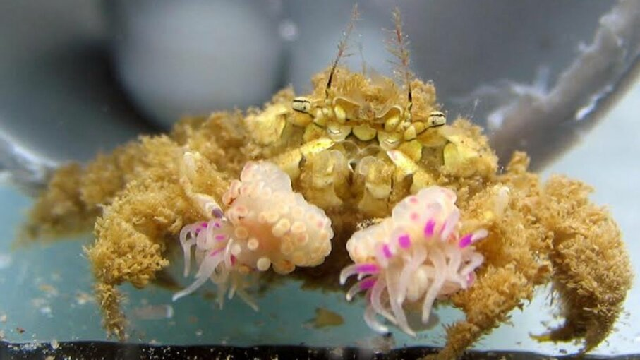 This is a typical example of a wild-caught crab (Lybia leptochelis) holding an anemone in each claw. Yisrael Schnytzer