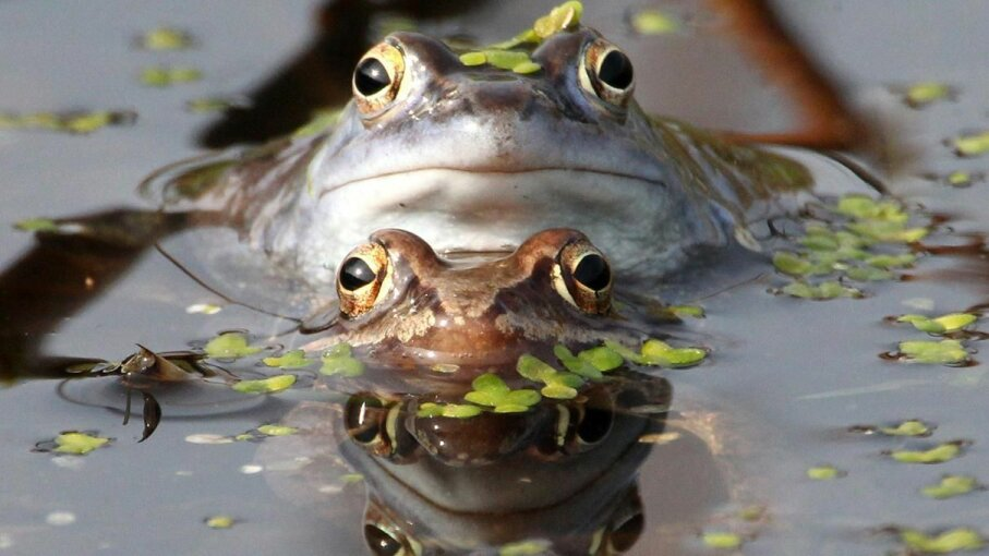Researchers at Georgia Tech discovered the secret to frogs' sticky tongues. SEBASTIAN WILLNOW/AFP/Getty Images