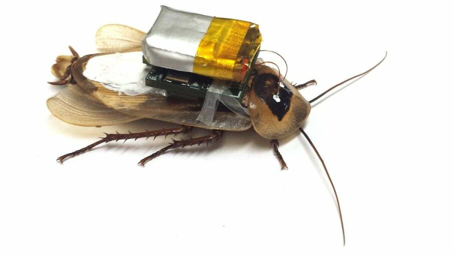 Researchers strapped battery packs onto cockroaches to allow them to detect signs of life in disaster areas. CARLOS SANCHEZ, TEXAS A&M UNIVERSITY