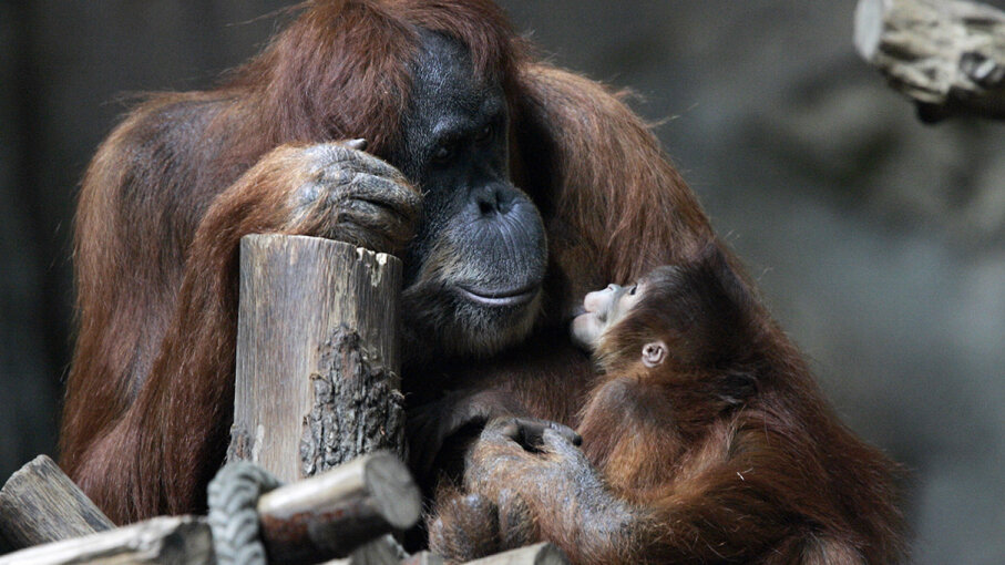 Orangutans can breastfeed for up to nine years, new research shows. JENS SCHLUETER/AFP/Getty Images