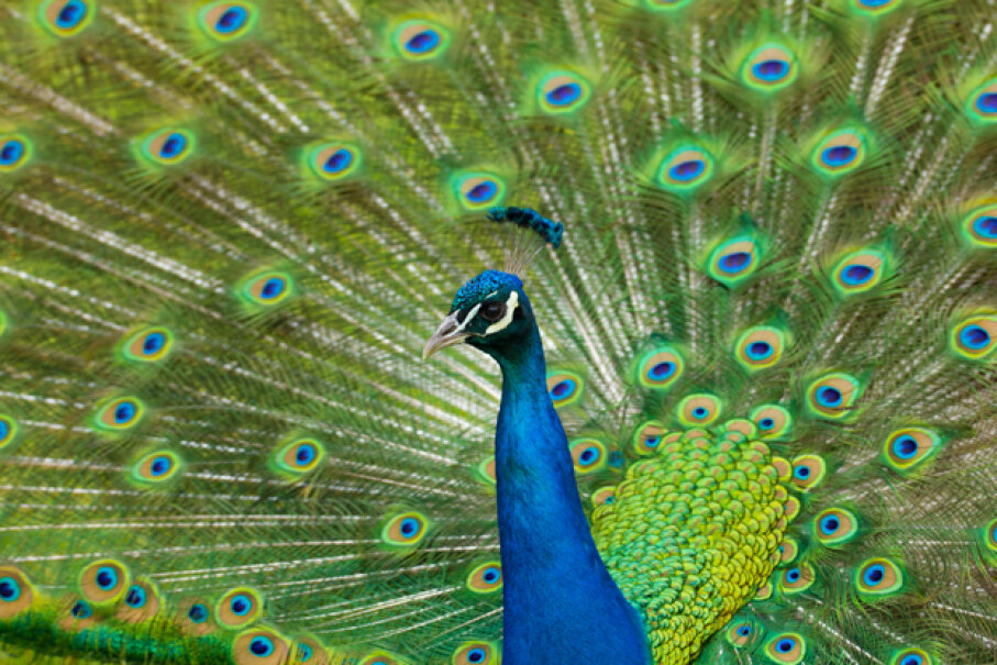 Do the eyes on a peacock's tail signify anything other than natural beauty? John Rucchetti/EyeEm/Getty Images