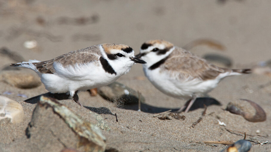 The Western snowy plover (Charadrius alexandrinus) nests in the open, making it vulnerable to a changing climate. Michael L. Baird/Flickr