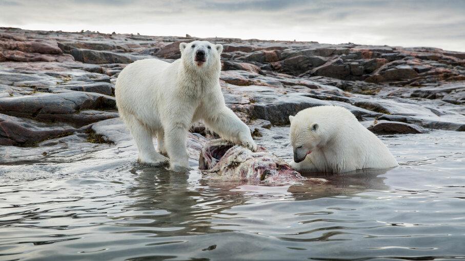 polar bears eat narwhal