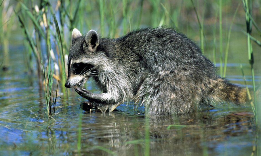 Raccoons Wash Food