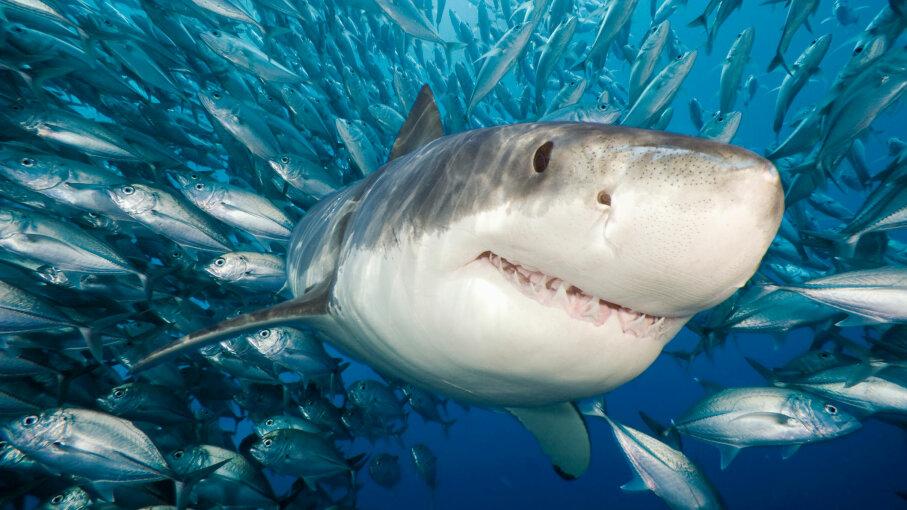 shark swimming among fish