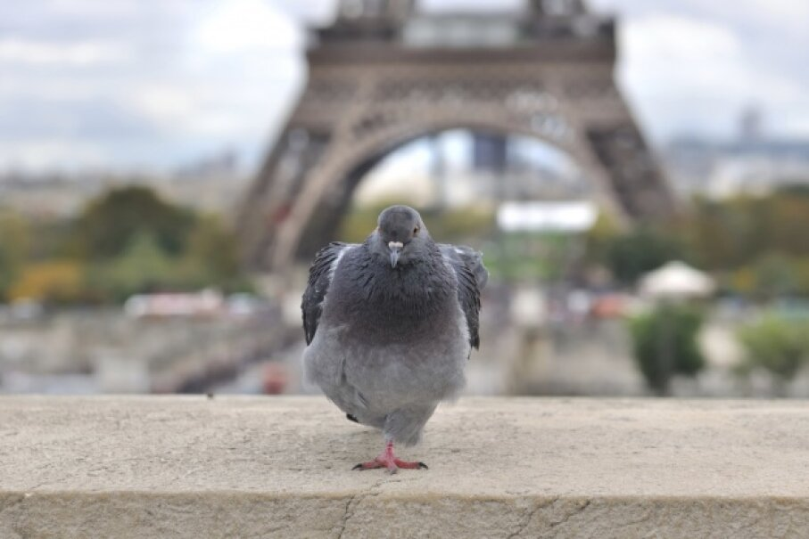 After that Parisian pigeon takes a quick rest, it's probably off to the Louvre for the afternoon. sanddebeautheil/iStock/Thinkstock